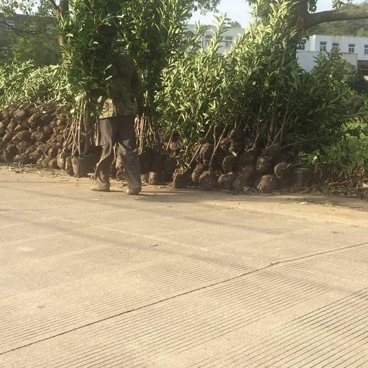 寧波 法國冬青,珊瑚樹,青珊瑚,2.5~3米土球黑土不散羅,桿子粗