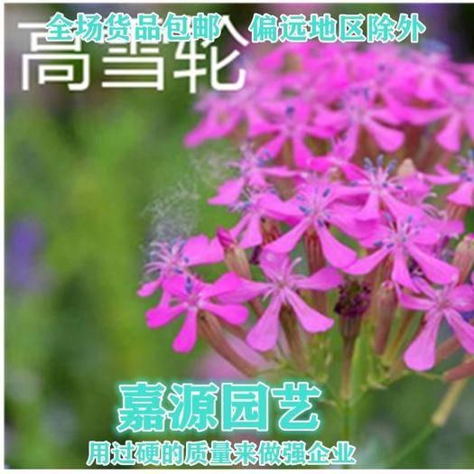 成都锦江区 高雪轮种子矮雪轮种子新种子包邮