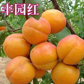丰园红杏树苗(金太阳,红太阳,凯特)南北适种