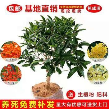 桂花(四季桂,日香桂,朱砂桂,黄金桂,八月)盆栽地栽南北适