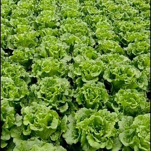 湖北省武汉市黄陂区 本人长常年供应意大利生菜 油麦菜  菜心  娃娃菜
