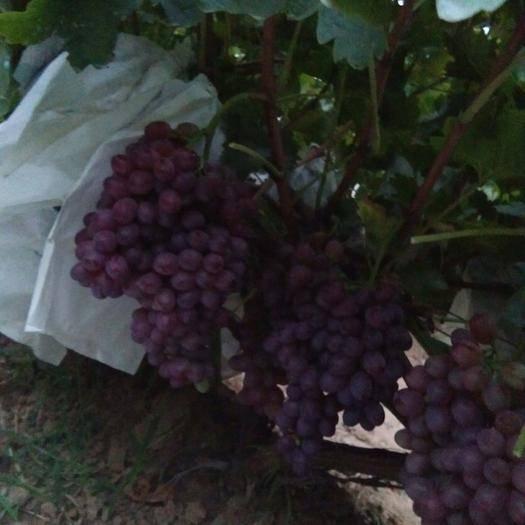龙口市克瑞森无核葡萄 1-1.5斤 5%以下 1次果