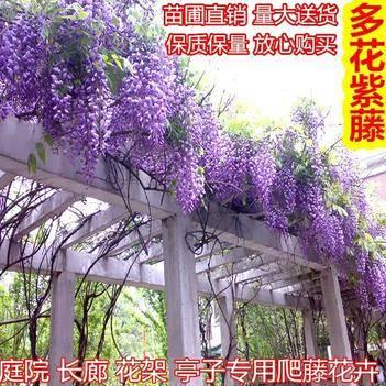 紫藤花爬藤家庭种植南北适种