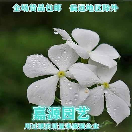 成都锦江区 长春花种子新种子包邮