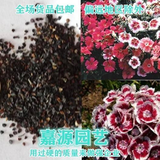 成都锦江区 常夏石竹种子包邮