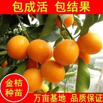 早熟沙糖桔苗 砂糖橘子苗(金桔,沃柑橘,)盆栽地栽南北适中种