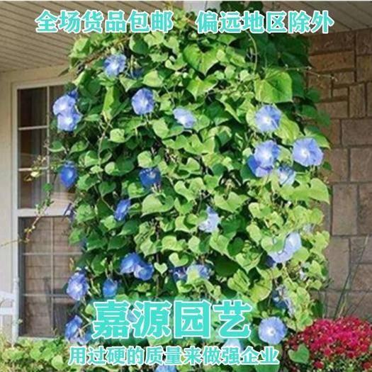 成都锦江区 牵牛花种子包邮