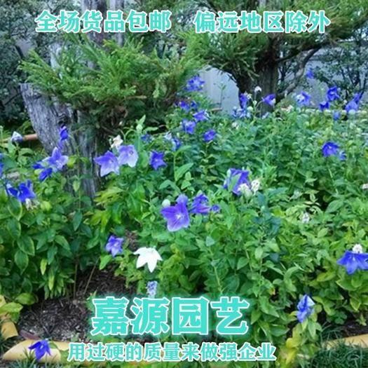 成都锦江区 桔梗种子新种子包邮