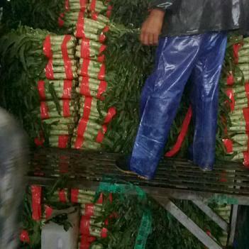 红尖叶莴苣 1.0~1.5斤 50-60cm