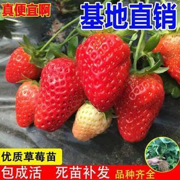 优质草莓苗盆栽地栽南北适种(四季草莓,奶油莓,妙香,红颜,)