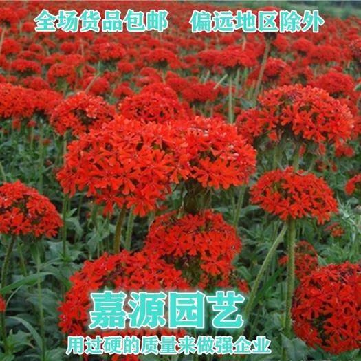 成都锦江区 剪秋罗种子新种子包邮