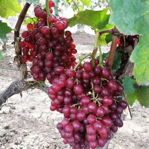 巨野县 优质红宝石葡萄开园了