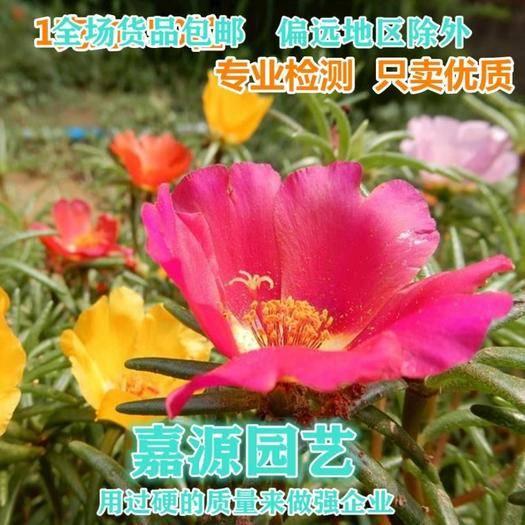 成都锦江区 太阳花种子重瓣太阳花香种子新种子包邮