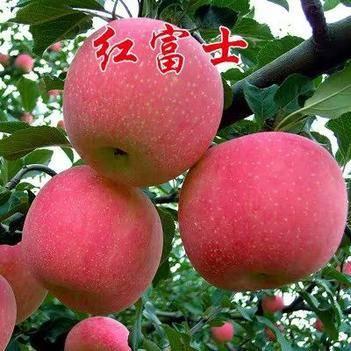 苹果盆栽 苹果苗盆栽地栽(红富士,红将军,国光,鸡心果,红肉)