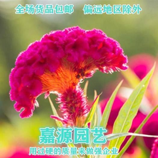 成都锦江区 鸡冠花种子矮羽鸡冠花种子新种子包邮