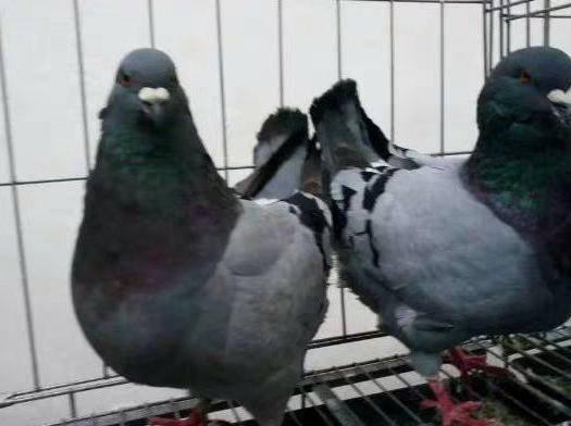 石家莊趙縣 元寶鴿.青年鴿2只包郵,成年鴿最大可長到2.6斤左右