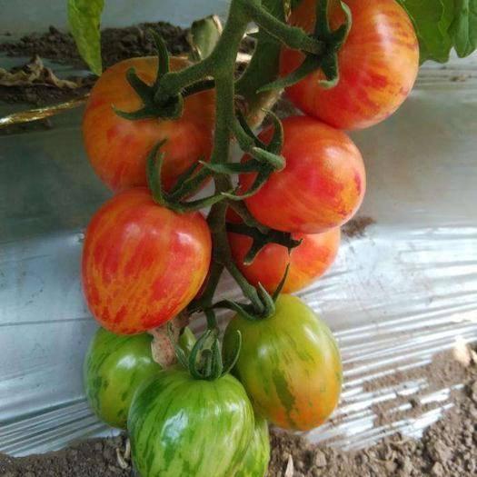 寿光市 花皇后 特色小番茄苗 黄色迷彩圣女果苗 厂家直销