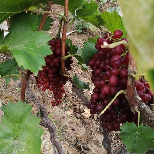 巨野县红宝石葡萄 刚开园超级甜红宝石