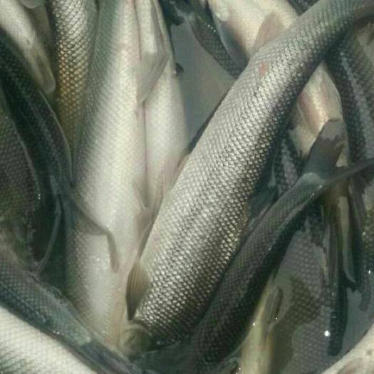 重庆淡水银鳕鱼 本渔场有大量各种规格成品银鳕鱼及鱼苗出售欢迎来电咨询,