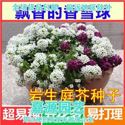 成都锦江区 岩生庭芥种子包邮
