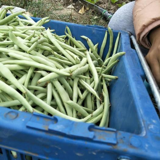 广西壮族自治区桂林市全州县紫花四季豆 15cm以上