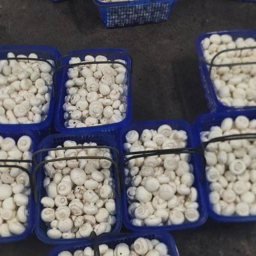 陕西省汉中市勉县 双孢菇销售