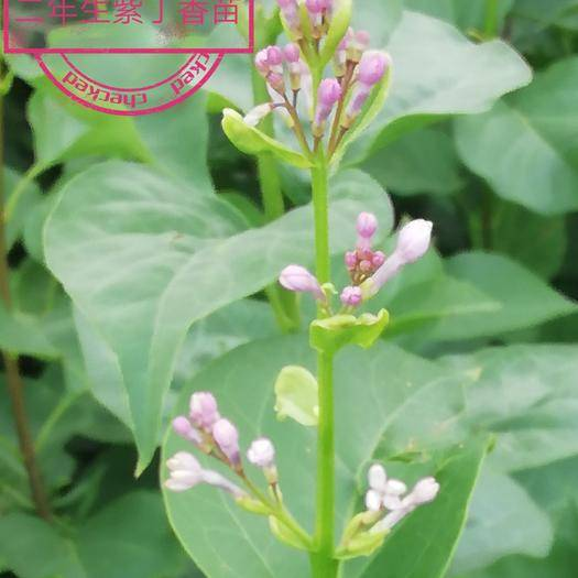 白城大安市 紫丁香二年苗 自產苗木 基地直銷 量大優惠