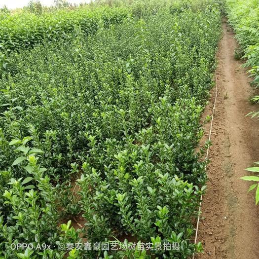 泰安岱岳區 出售大葉黃楊高度40公分以上大冠幅
