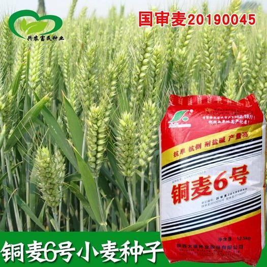 宜春樟樹市 國審銅麥6號小麥種子抗旱抗倒耐鹽堿高產易種大田用種