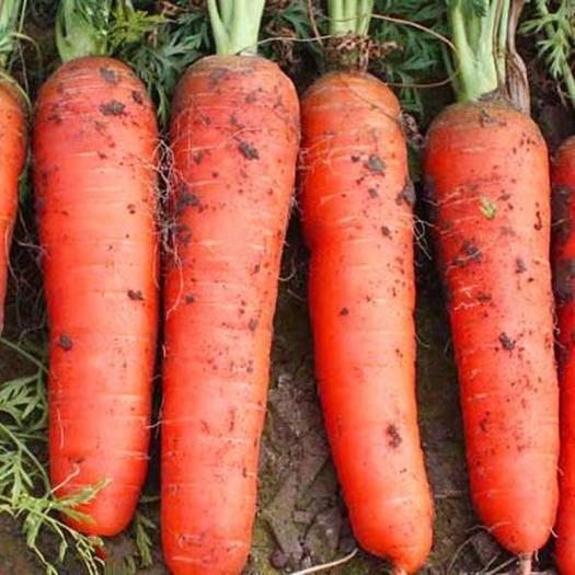 白山长白朝鲜族自治县 富士七寸红萝卜种子水果萝卜种子春季秋季高产萝卜种子