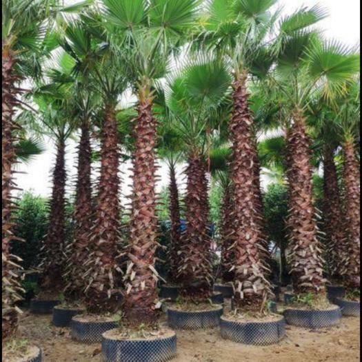 攀枝花米易縣 長期批發大小各種規格老人葵。