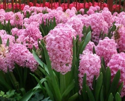 宿迁沭阳县 风信子种球易种植,花色花型优美,如没颜色要求,发混色