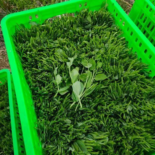 四川省德阳市广汉市豌豆苗 新鲜豌豆尖上市了 需要的联系