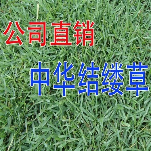 宿迁沭阳县 台湾2号草坪种子细叶结缕草种子矮生四季青草种 优质台湾草籽