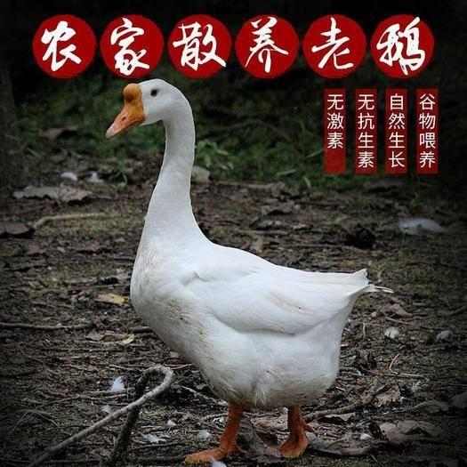 保定莲池区 农家散养新鲜大鹅,活体现杀完6斤,白鹅,包邮