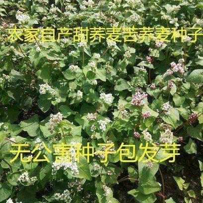 宿迁沭阳县 荞麦种子包邮优质甜荞麦种子 黑荞麦种子苦荞种子四季种植芽菜苗