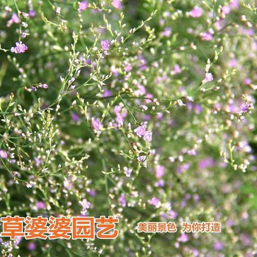 沭阳县 舞草种子包邮
