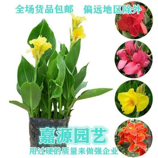 成都锦江区 美人蕉种子包邮