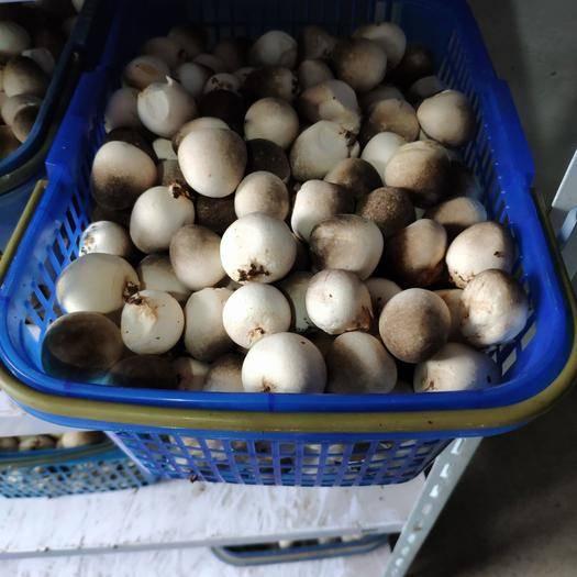河北省邢台市临西县草菇 鲜货 3cm以上 人工种植