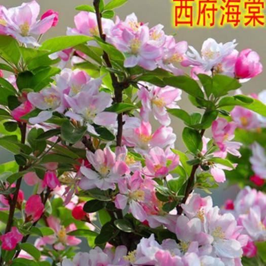 臨沂平邑縣 海棠樹苗南方北方種植盆栽地栽西府四季常綠開花庭院風景花木樹