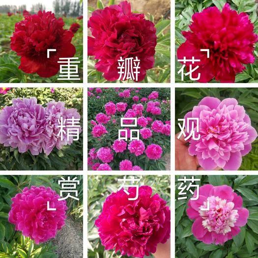菏澤牡丹區 精品觀賞芍藥,鮮切花品種,幾十個品種,保證品種,現要現挖