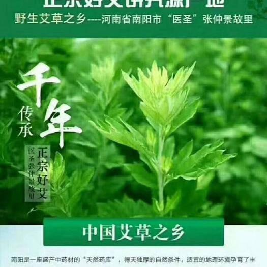 南阳卧龙区艾草种子 南阳宛艾  艾根出售  大叶艾  产绒率高  产量高