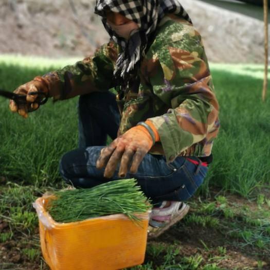 内蒙古自治区呼和浩特市玉泉区 精品鲜沙葱