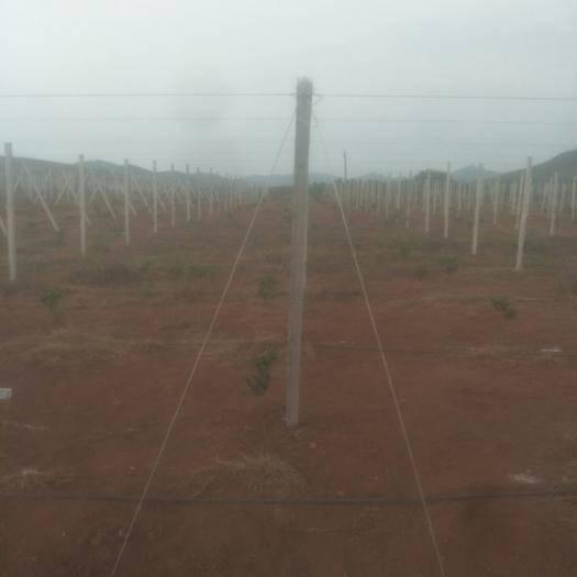 广西壮族自治区桂林市兴安县钢丝夹 专业制作葡萄避雨棚,百香果,猕猴桃,火龙果老虎架各种瓜果棚架