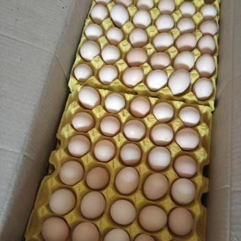 高州散养土鸡蛋