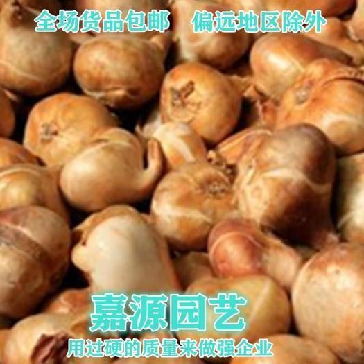 成都锦江区 荷兰进口郁金香种子包邮