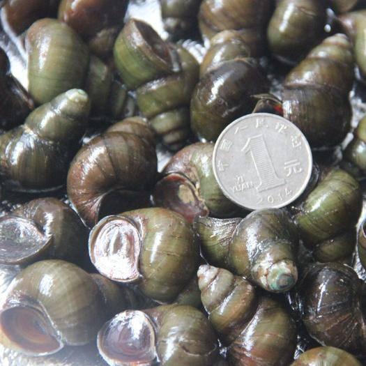 湖北省孝感市汉川市 新鲜田螺活体活的石螺包活泥螺螺蛳粉螺丝肉野生鲜活螺蛳1份包邮