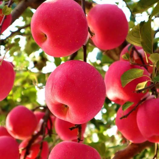 平邑县众成一号苹果树苗 众成三号 基地直供 长期提供技术指导 24小时发货