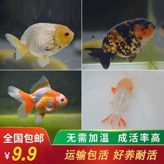 连云港连云区 兰寿金鱼活体观赏鱼锦鲤鱼好养小金鱼小型冷水鱼淡水鱼纯种宠物