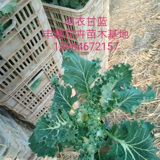 青州市羽衣甘藍 雨衣甘藍~孔雀草~芝櫻(福祿考)花海首選